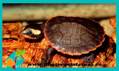 Resultado de imagen de tortuga payaso dnatecosistemas