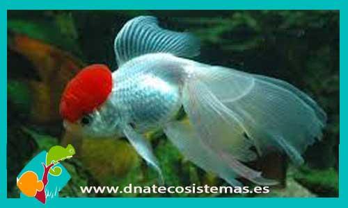 COMETA AMARILLO 5-8 CM Carassius auratus - 1.60€. DNATecosistemas.es 96aa5827344