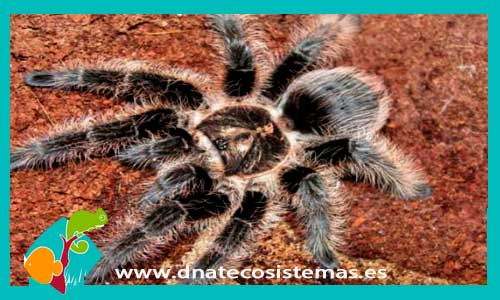 nueva llegada de tarantulas 801235-brachypelma-albopilosum.