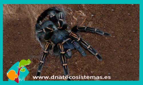 nueva llegada de tarantulas 813511-Aphonopelma-seemani