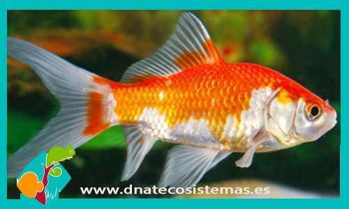 Cometa sarasa 4 5 cm carassius auratus for Enfermedades de peces de agua fria