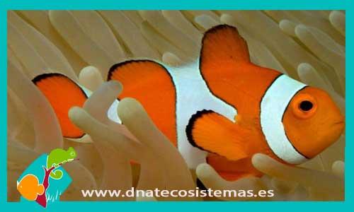 Nueva llegada de Pes Payaso 842175-Amphiprion-ocellaris-2