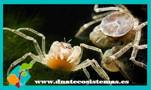 Resultado de imagen de cangrejo enano dnatecosistemas