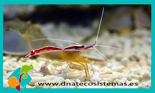 Lysmata amboinensis reproduccion asexual en