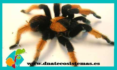 nueva llegada de tarantulas 898991-Brachypelma-emilia
