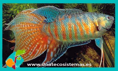 Tienda dnat ecosistemas pez paraiso macropodus sp a for Comida viva para peces