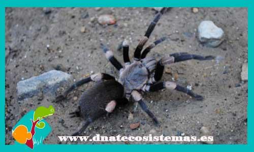 nueva llegada de tarantulas 930159-tarantula-del-mimalaya-1cm-haplocosmia-himalayana-tienda-de-invetebrados-venta-de-arana-online-venta-de-animales-barato-online