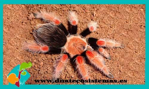 nueva llegada de tarantulas 957072-Brachypelma-boehmei1