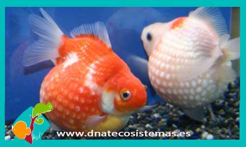 Escama de perla 5 6 cm carassius auratus for Peces de agua fria carassius