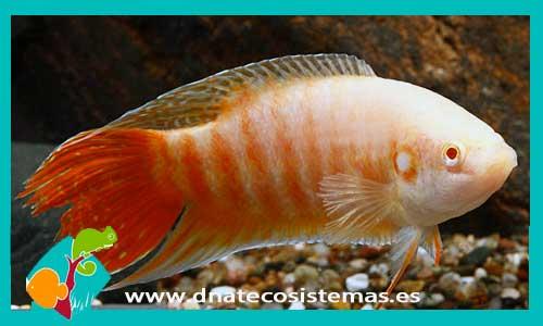 Pez paraiso albino macropodus opercularis for Comida viva para peces