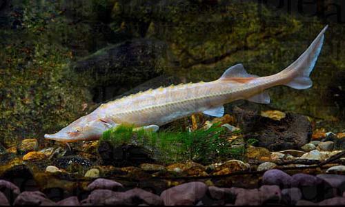 Dnat ecosistemas tienda animales y mascotas peces online for Peces koi baratos