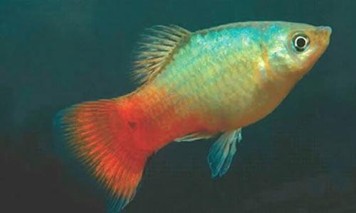 Guía básica de acuarios (mi primer acuario) parte IV BlueCoralPlaty