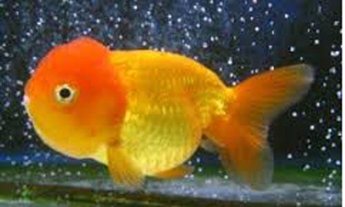 Tienda dnat ecosistemas peces agua dulce y marinos - Peces koi precio ...