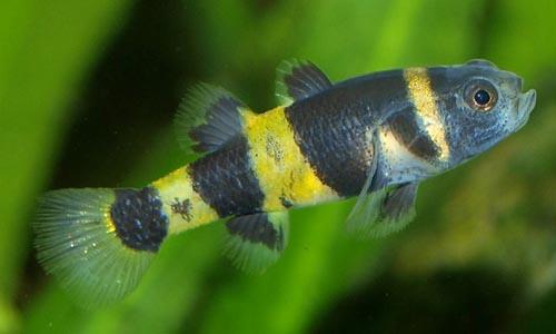 Gobio avispa brachygobius doriae for Peces agua dulce