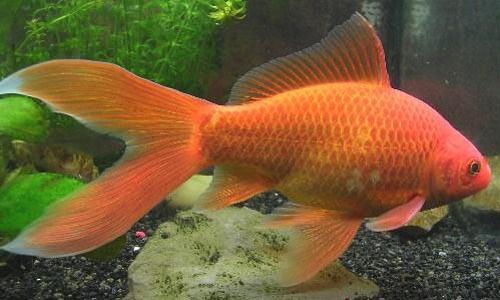 Dnat ecosistemas tienda animales y mascotas peces online for Como cuidar peces de agua fria