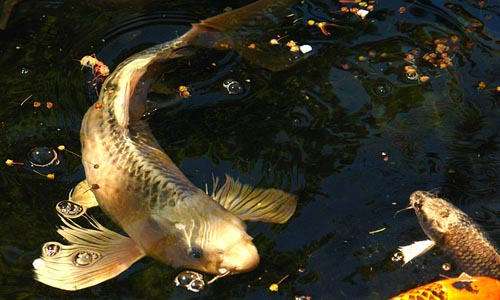 Koi fantasma 8 11 cm tienda online peces venta de peces for Peces koi baratos