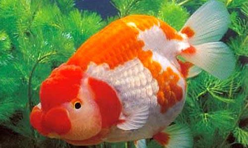 养金鱼-防治